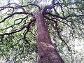 Maytenus acuminata - sybas harold porter 3.jpg