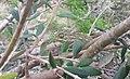 Mediterranean Chameleon in Maltese Olive Tree.jpg