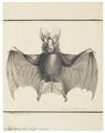Megaderma lyra - 1700-1880 - Print - Iconographia Zoologica - Special Collections University of Amsterdam - UBA01 IZ20700109.tif