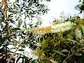 Melaleuca leucadendra inflor Pj IMG 0086.JPG