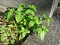Mentha spicata sl7.jpg
