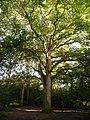 Merley, lofty tree in Delph Woods - geograph.org.uk - 1417732.jpg