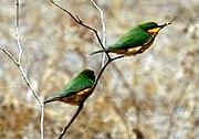 Merops pusillus (cropped)