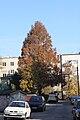 Metasequoia glyptostroboides Adampolska.JPG