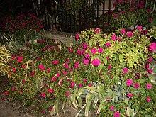 Mirabilis jalapa wikimonde - Belle de nuit plante ...