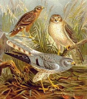 Harrier (bird) - Montagu's harrier