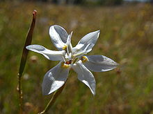 Moraea viscaria (5).JPG