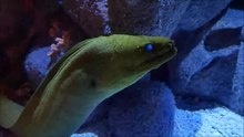File:Moray eel.webm