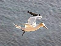 Northern Gannet (Morus bassanus) in flight.
