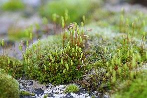 Bryum capillare zusammen mit Grimmia pulvinata auf einem alten Grabstein.