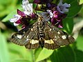 Moth (Pyrausta sp?) (19227968354).jpg