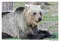 Mother bear (14297980876).jpg