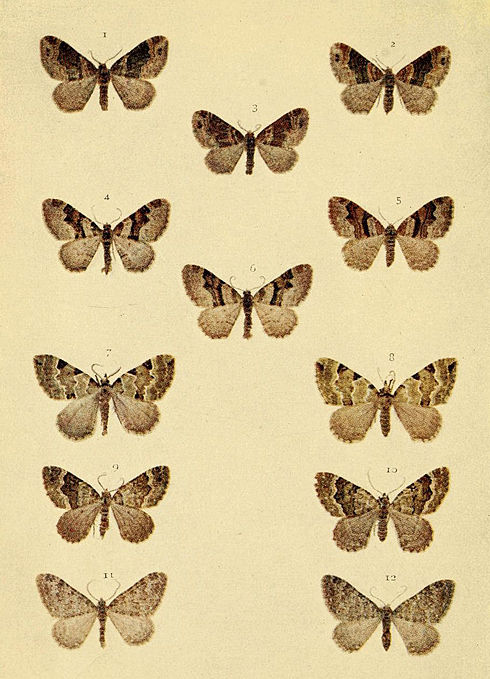 Moths of the British Isles Series2 Plate075.jpg
