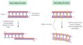 Moviment dels microtúbuls en cilis i flagels.png