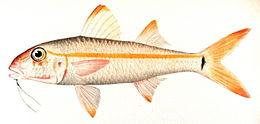 Mulloidichthys martinicus