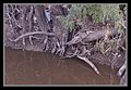 Murray Gum Roots at Echuca-1 (5522453916).jpg