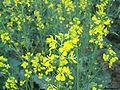 Mustard flowers.jpg