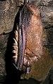 Myotis emarginatus (2863228266).jpg