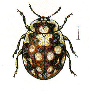 Myrrha (beetle) - Image: Myrrha.octodecimgutt ata.jacobs 24