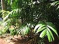 Mysore Areca Nut മൈസൂർ അടയ്ക്ക തൈകൾ.JPG