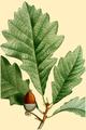 NAS-007g Quercus bicolor.png