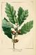 NAS-011 Quercus prinoides.png