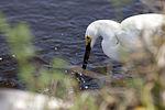 NASA Kennedy Wildlife - Snowy Egret (2).jpg