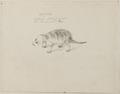 NL-HlmNHA 53004654 01 Krabbenetende wasbeer.tif