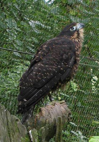 Falcon - New Zealand falcon