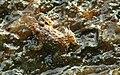 Nannophrys ceylonensis frog.jpg