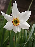 Flower of Narcissus poeticus