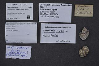 <i>Trigonostoma scala</i> Species of gastropod