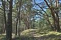 Naturpark Insel Usedom Dünen Bannwald bei Trassenheide.jpg
