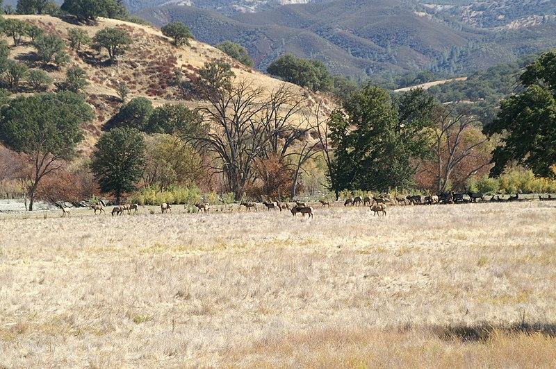 File:Near Creston, CA, Tule Elk, 2006 - panoramio.jpg