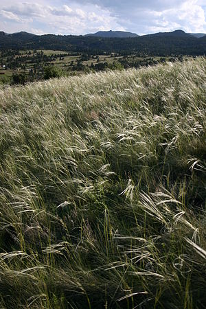 Hesperostipa comata - Image: Needleandthreadgrass 2