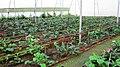 Nelliampathy Orange Farm - panoramio (3).jpg