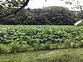Nelumbo nucifera in north moat of Fukuoka Castle 20.jpg