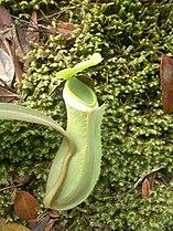 Nepenthes albomarginata green.jpg