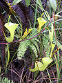 Nepenthes inermis1.jpg
