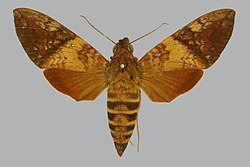 Nephele bipartita BMNHE813192 female up.jpg