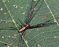 Nephila.clavata.male.-.tanikawa.jpg