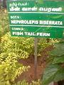 Nephrolepis biserrata with nameboard.jpg