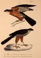 Neue Wirbelthiere zu der Fauna von Abyssinien gehörig (1835) Accipiter tachiro & Accipiter rufiventris.png