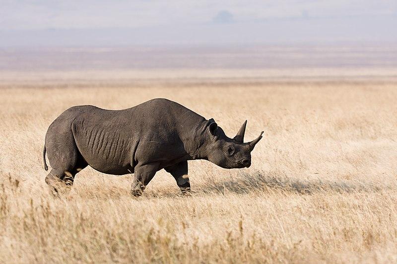File:Ngorongoro Spitzmaulnashorn.jpg