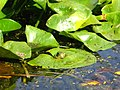 Nice frog - panoramio.jpg