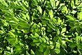 Nipponanthemum nipponicum kz1.jpg
