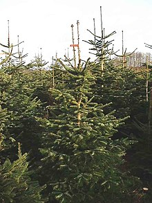 Christmas tree production - Wikipedia
