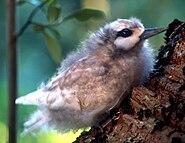 Norfolk Island white turn chick