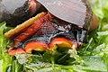 Norris's Top Snail - Norrisia norrisii (43461317701).jpg