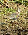 Northern Lapwing Vanellus vanellus Deepor Beel by Dr. Raju Kasambe 2 (1).jpg